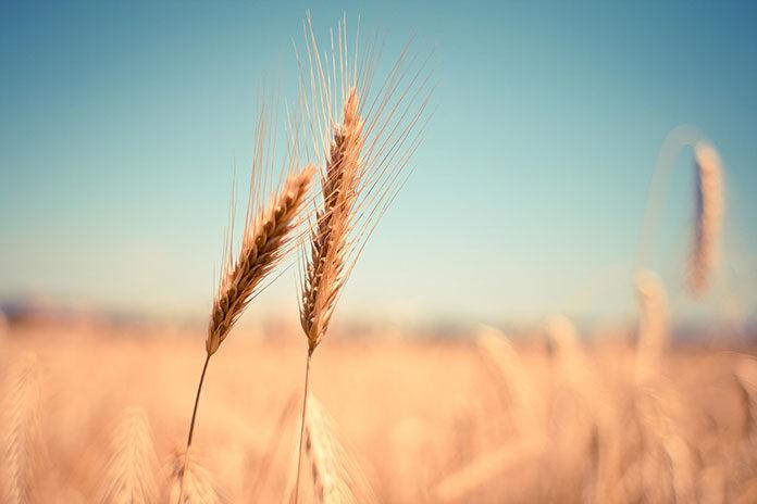 Co wpływa na wyleganie zbóż?